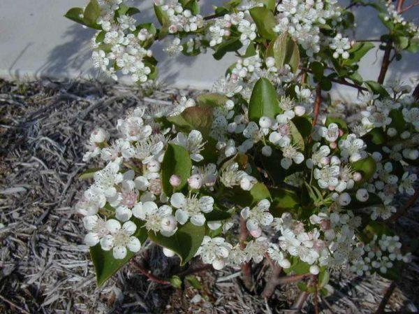 Aronia melanocarpa Chokeberry
