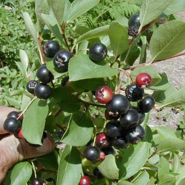 Aronia melanocarpa, Chokeberry