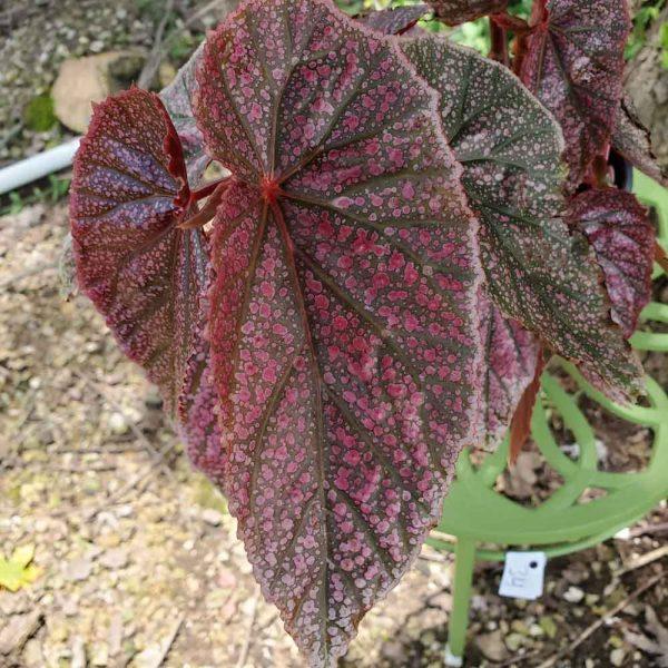Begonia Miss Mummy Angel Wing Begonia