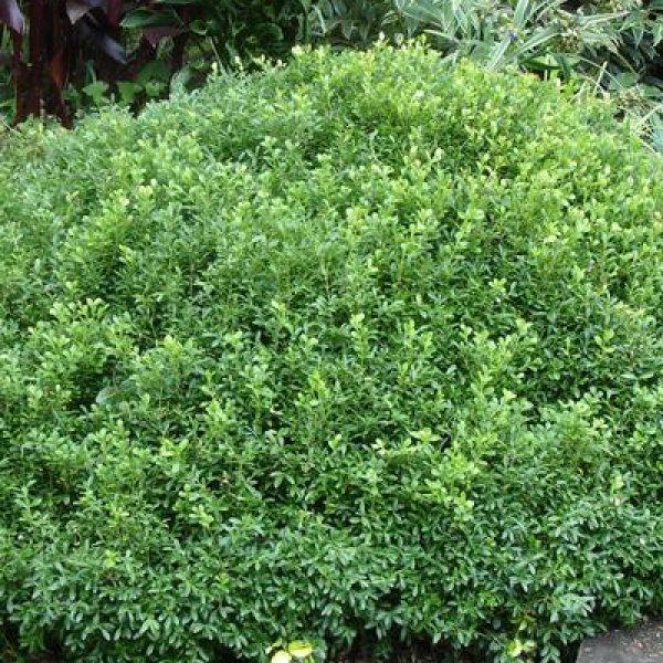 Buxus Emerald Knoll Boxwood