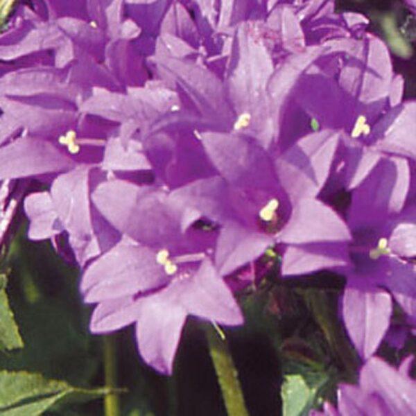 Campanula Joan Elliott Clustered Bellflower