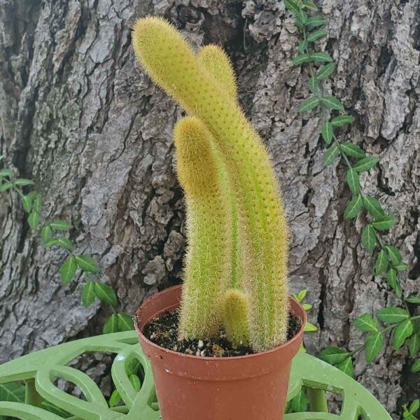Cleistocactus winteri Golden Monkey Tail Cactus