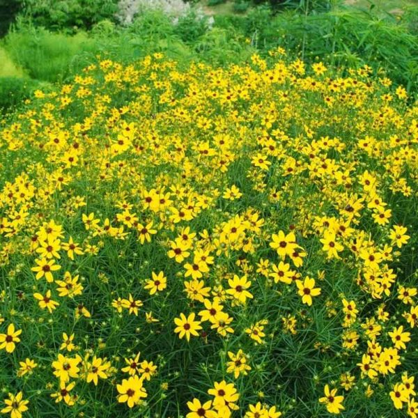 Coreopsis Gilded Lace Tickseed