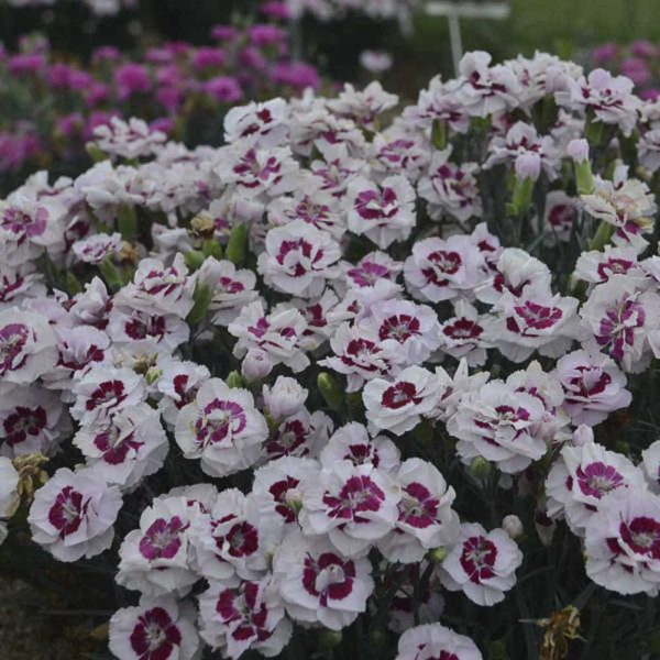 Dianthus Kiss and Tell Pinks