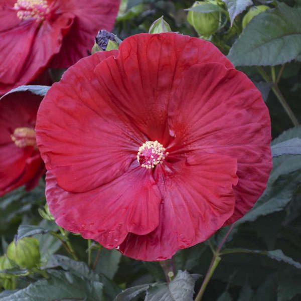 Hibiscus Cranberry Crush Rose Mallow