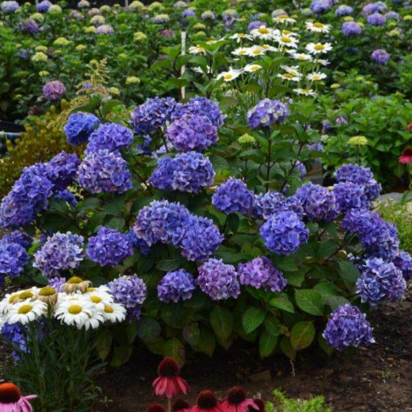 Hydrangea macrophylla Bloomstruck, Bigleaf Hydrangea