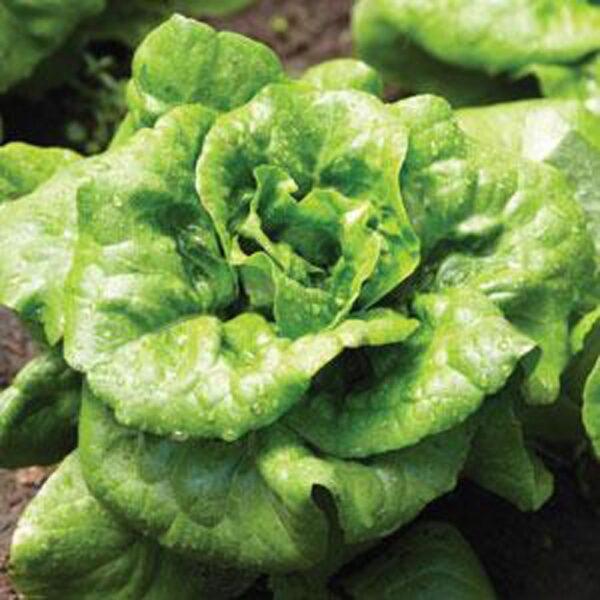 Lettuce Buttercruch Bibb Type