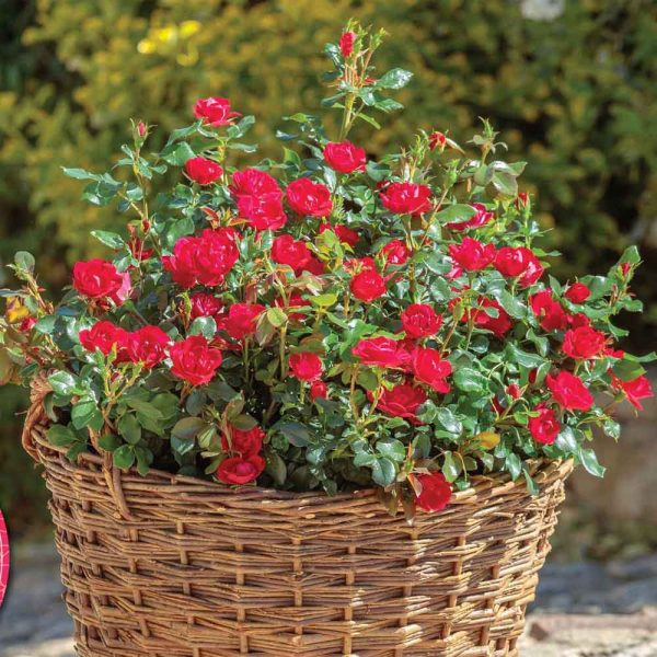 Shrub Rose – The Petite Knock Out Rose