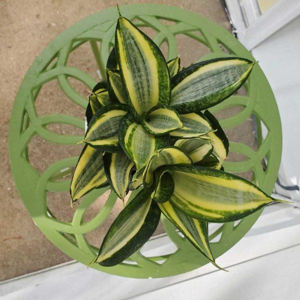 Sansevieria Bird's Nest Snake Plant Golden Hahnii