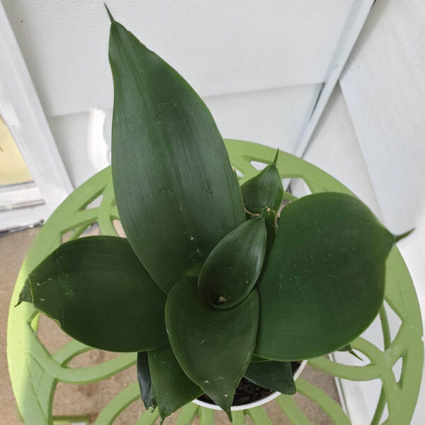Sansevieria Bird's Nest Snake Plant Hahnii Jade