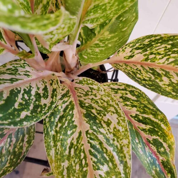 Aglaonema Maria Chinese Evergreen (Copy)