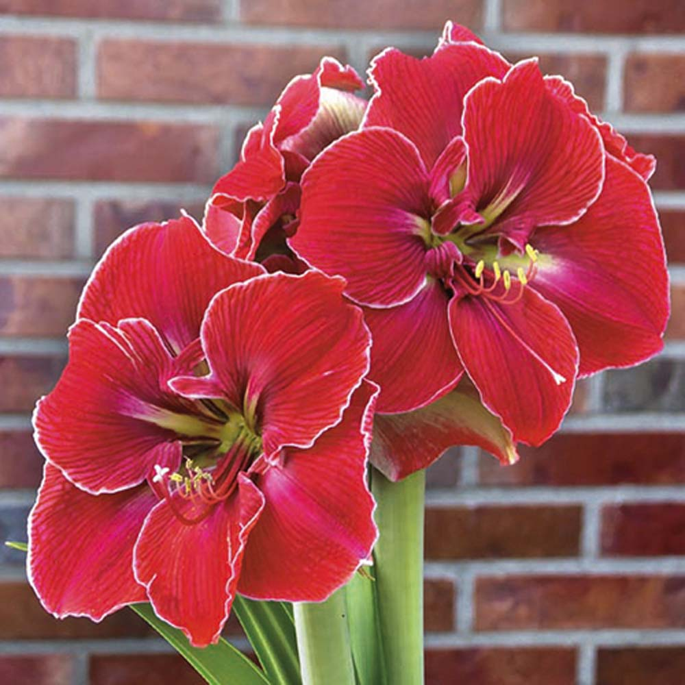 Amaryllis Magical Touch