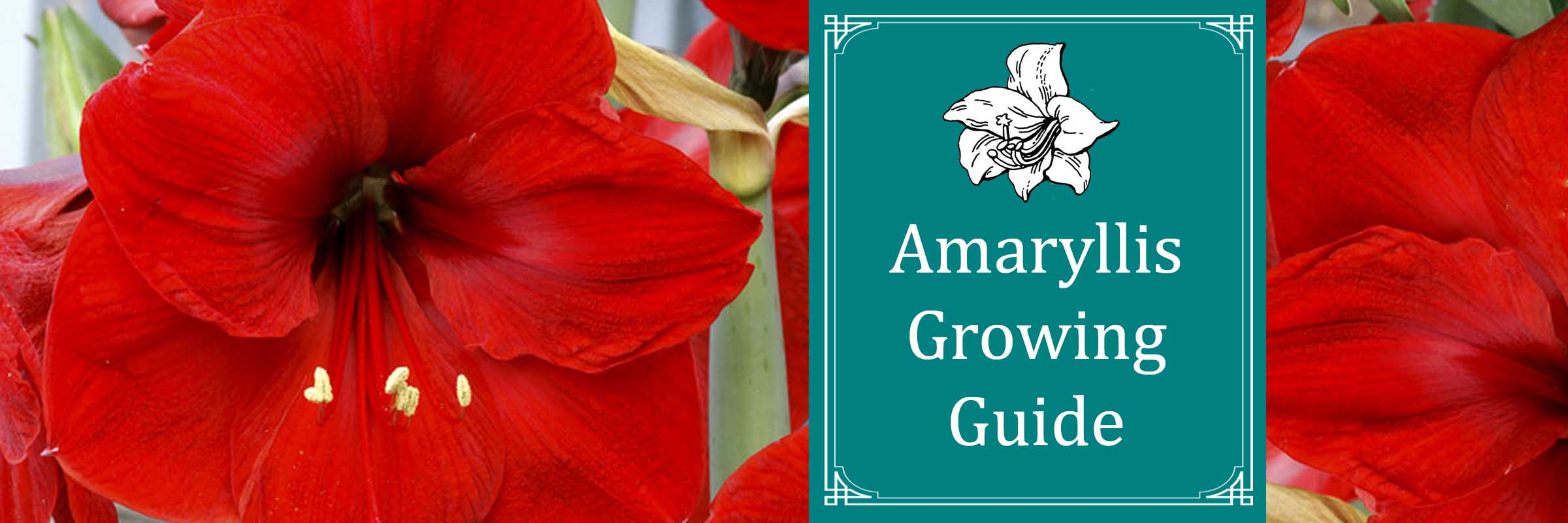 Amaryllis Growing Guide