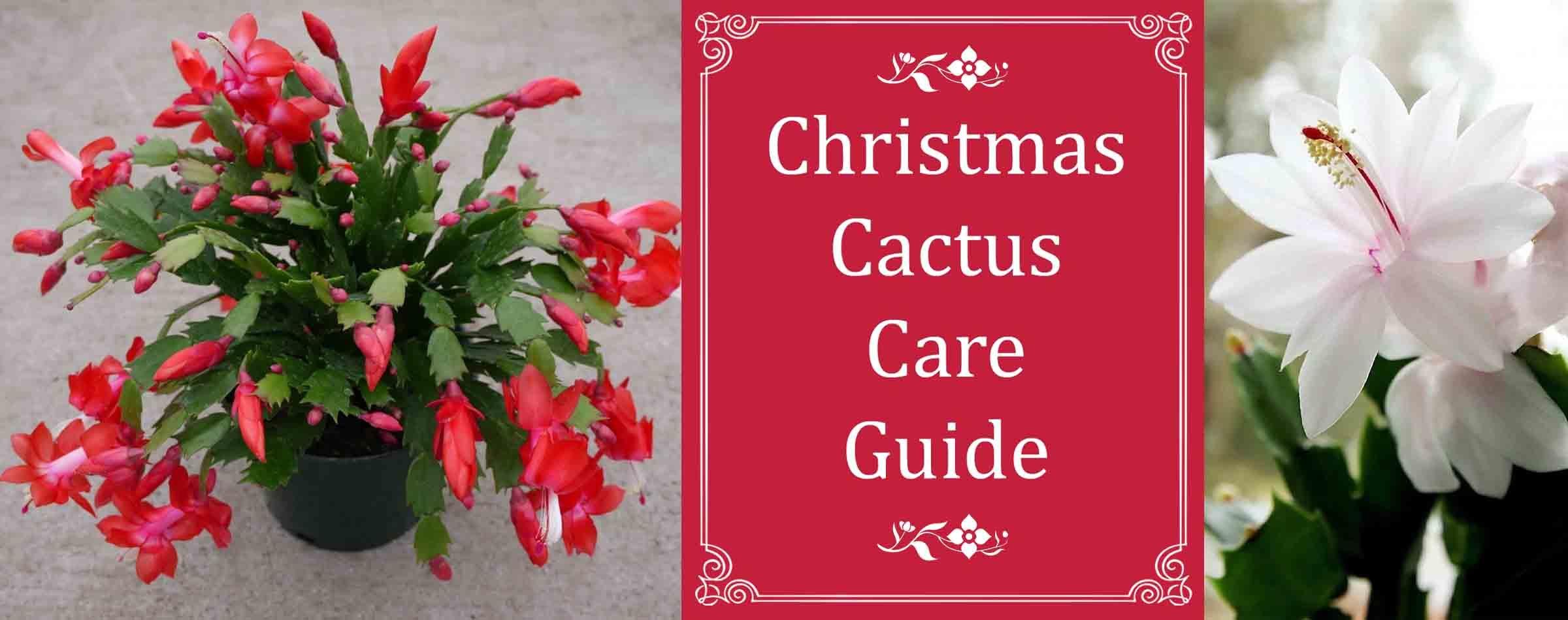 Christ Cactus Care Guide St Louis Plant Shop