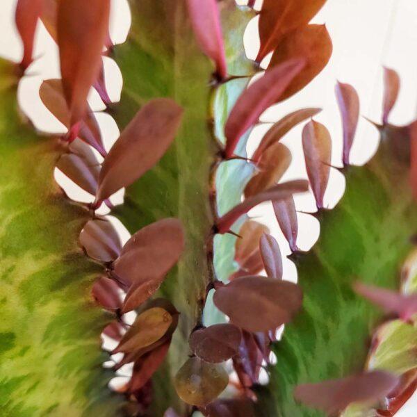 Euphorbia trigona Rubra, African Milk Tree