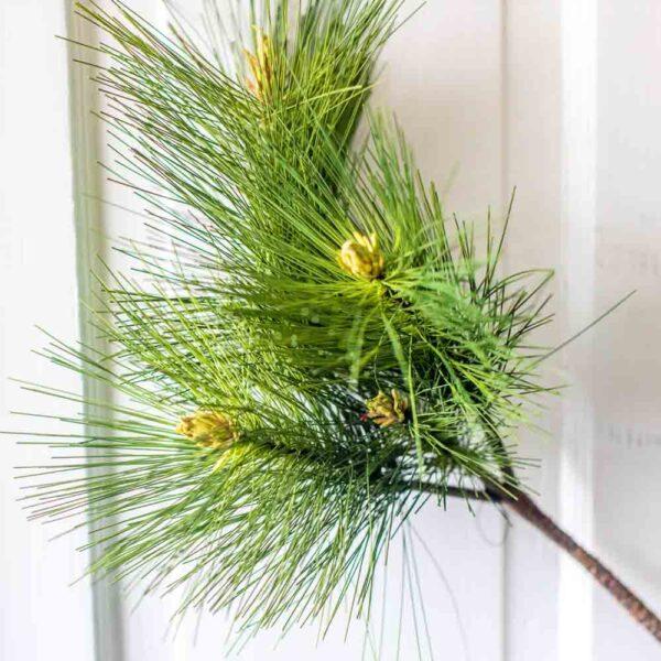 Evergreen stem white pine