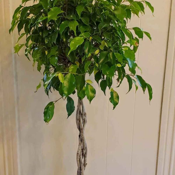 Ficus Benjamina Weeping Fig Tree