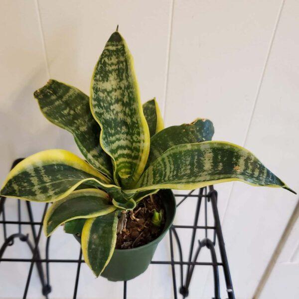 Sensevieria Superba Snake Plant