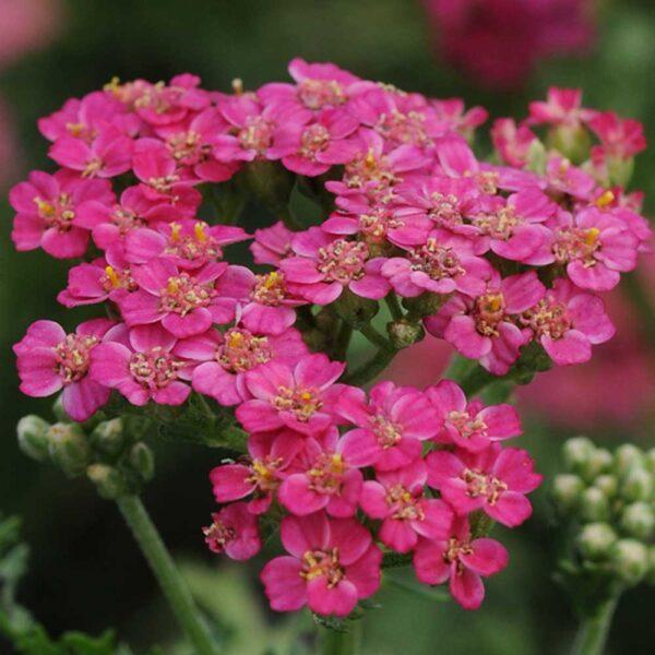 Achillea New Vintage Rose Yarrow St Louis Plant Nursery