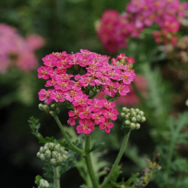 Achillea New Vintage Rose Yarrow