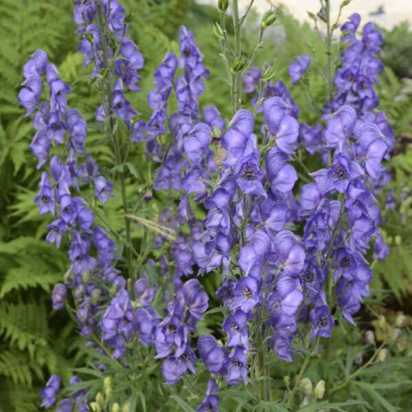 Aconitum fischeri Monkshood Sugar Creek Gardens St Louis Plant Nursery