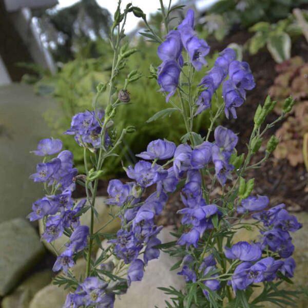 Aconitum napellus Monkshood St Louis Plant Nursery