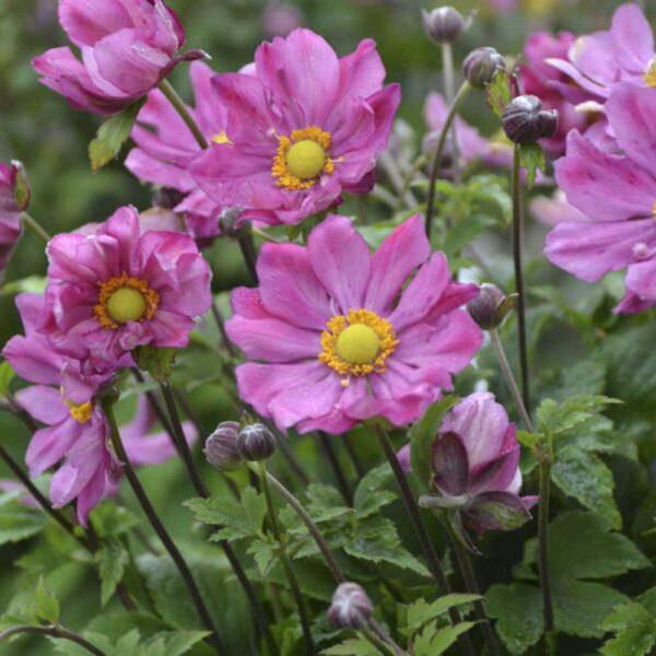 Anemone Curtain Call Deep Rose