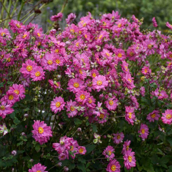 Anemone Fall In Love Sweetly Windlfower