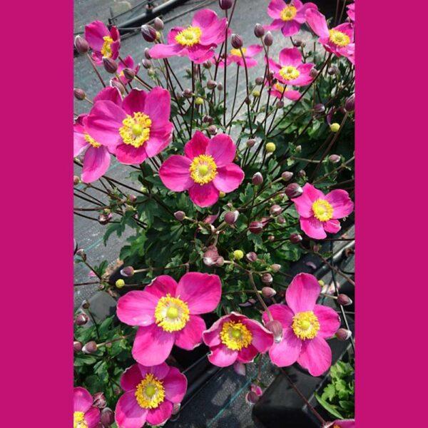 Anemone Little Summer Breeze Windflower