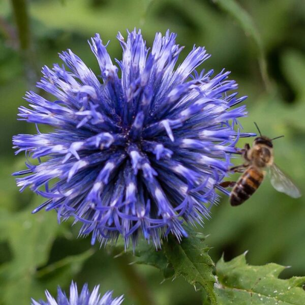 Echinops ritro Globe Thistle Bee