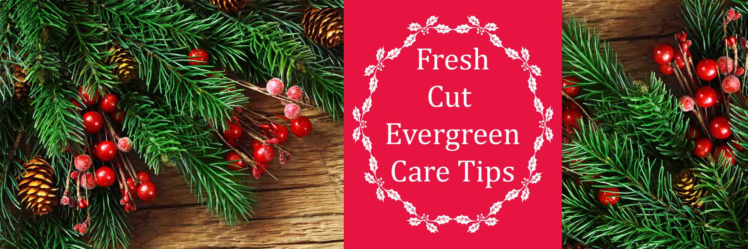 Fresh Cut Evergreens Care Tips