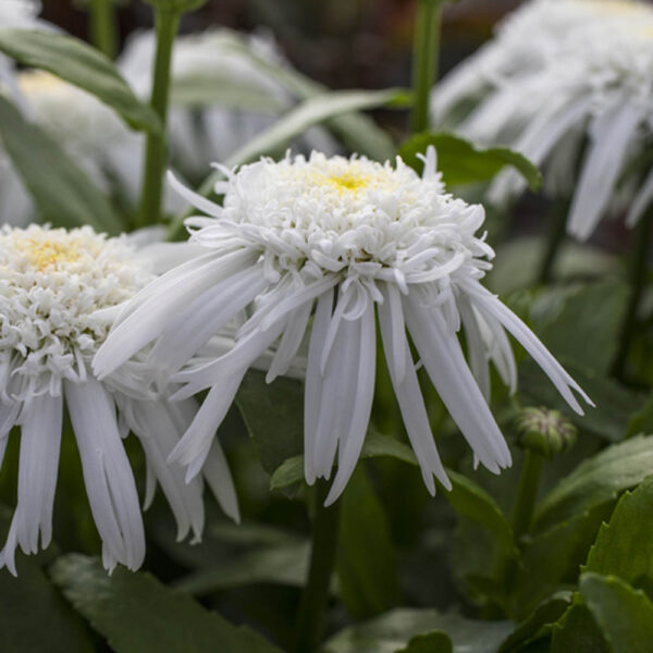 Leucanthemum Carpet Angel Daisy First Ground Cover Shasta Daisy
