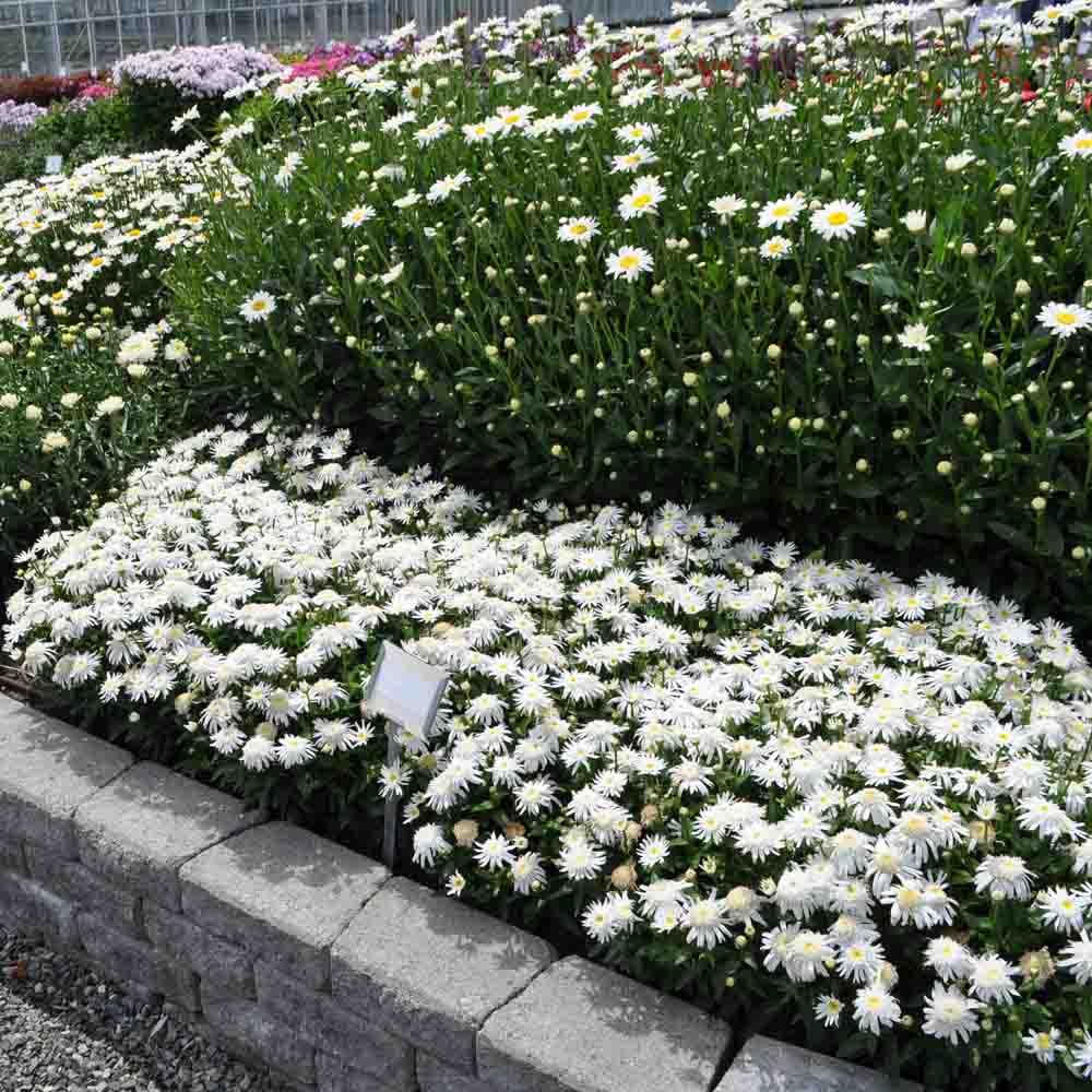 Leucanthemum Carpet Angel Daisy Ground Cover Shasta Daisy