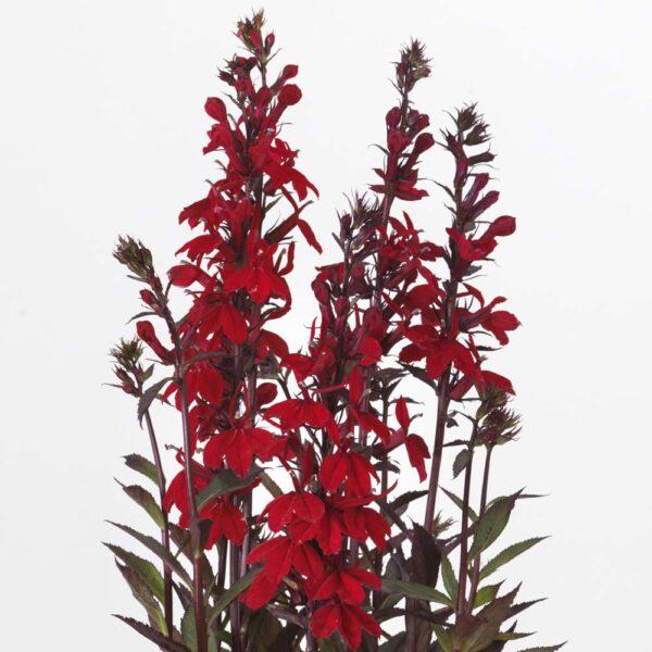 Lobelia Starship Scarlet Bronze Leaf Cardinal Flower