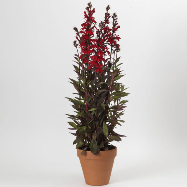 Lobelia Starship Scarlet Bronze Leaf