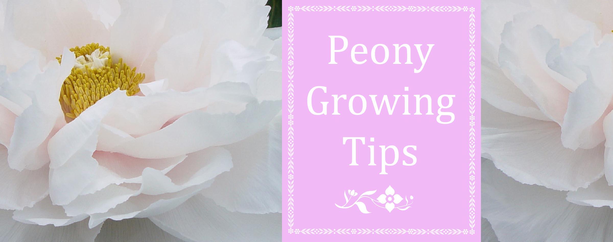 Peony Growing Tips