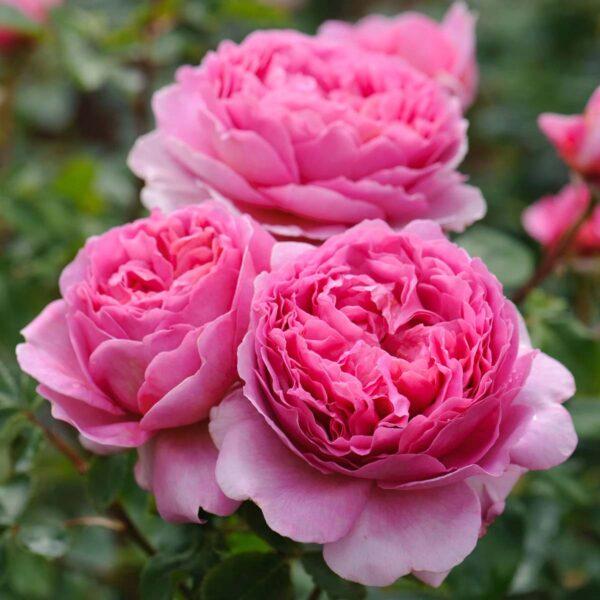 Rose David Austin Queen Alexandra of Kent