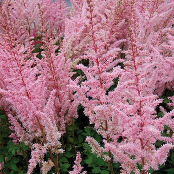 Astilbe Mighty Pip False Spirea