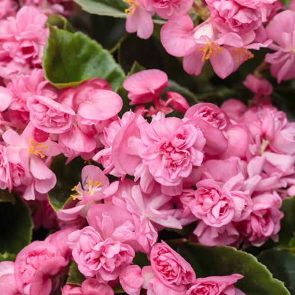 Begonia Double Up Pink