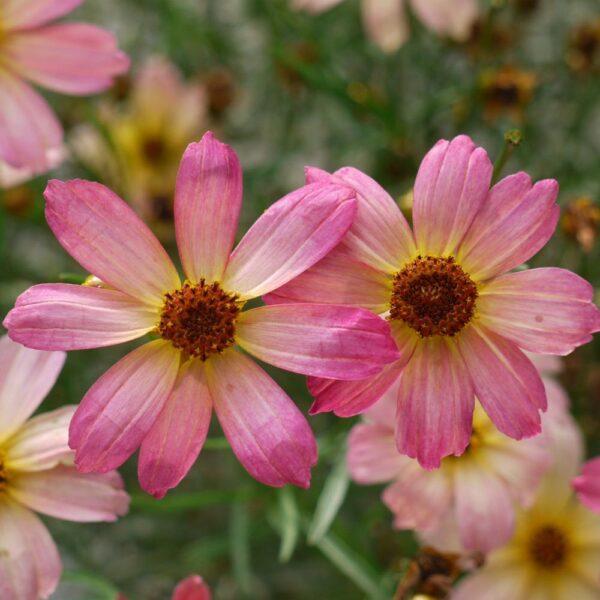 Coreopsis Shades of Rose Tickseed