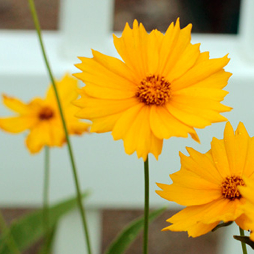 Coreopsis-lanceolata-Lance-Leaf-Coreopsis