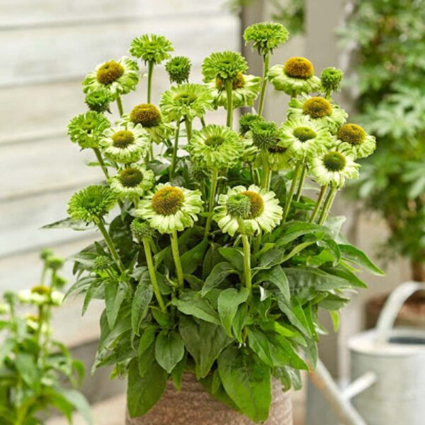 Echinacea SunSeekers Apple Green Coneflower