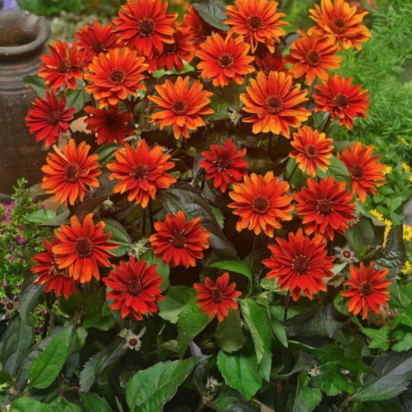 Heliopsis Fire Twister Oxeye Sunflower