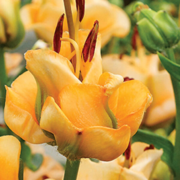 Lilium Apricot Fudge Lily – 3 bulbs
