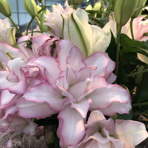 Lilium Roselily Anouska Double Flowering Oriental Lily