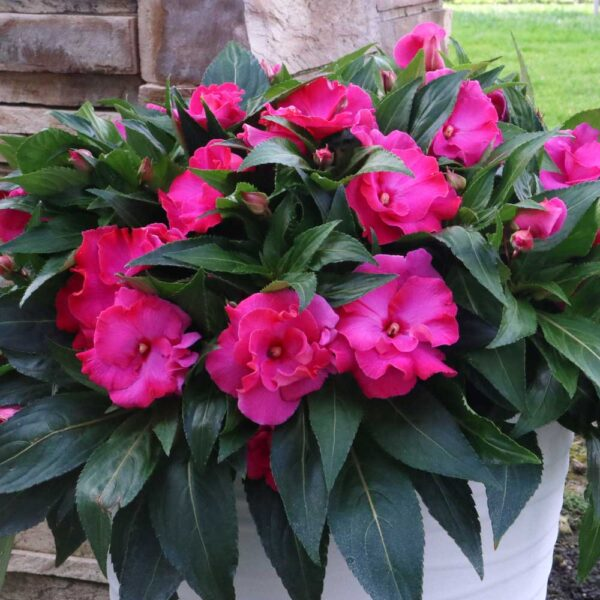 New Guinea Impatiens Roller Coaster Hot Pink