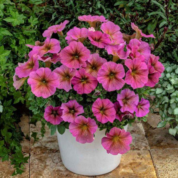 Petchoa Sunray Pink, Petunia Hybrid