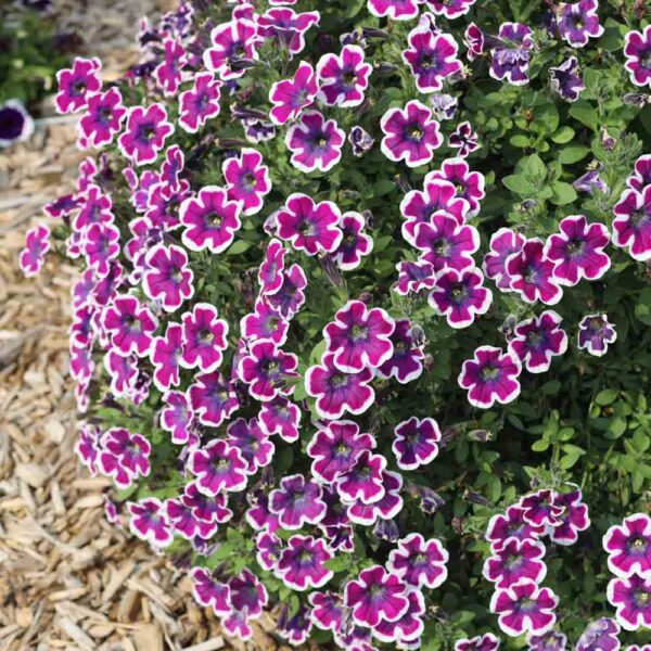 Petunia Hippy Chick Violet