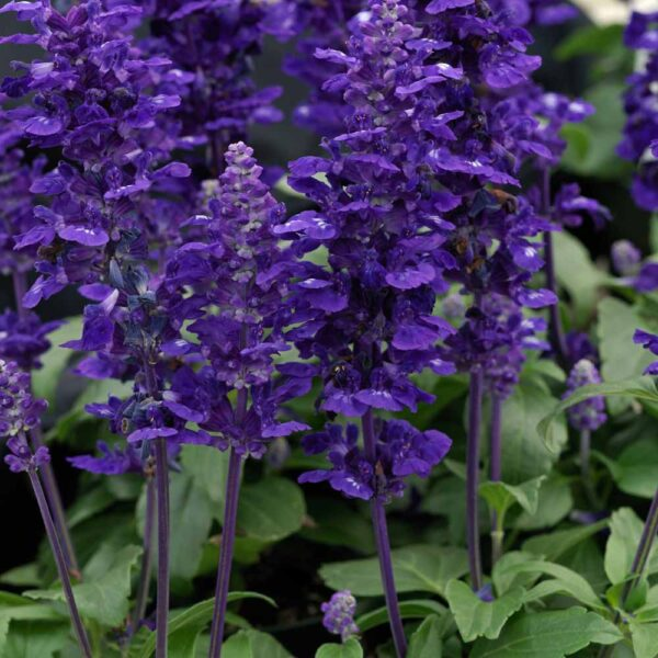 Salvia Velocity Blue Mealy Cup Sage