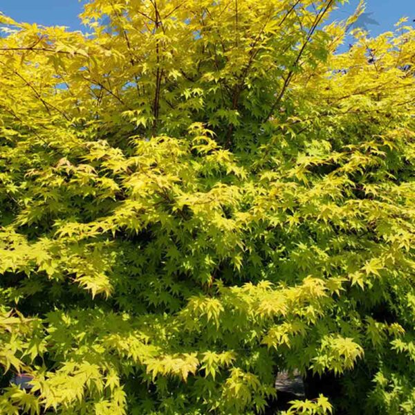 Acer Summer Gold Japanese Maple